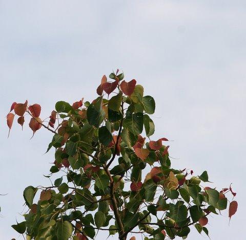 Peepul Tree new leaves (Ficus religiosa)