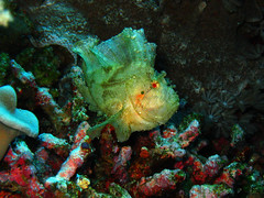 Leaf Fish: Stare?