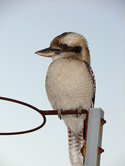 The Goal Keeper (aussiegall) Tags: bird fly goal wings feather soe kookaburra aphotoaday australiannativebird project365 shieldofexcellence exploreinterestingness117