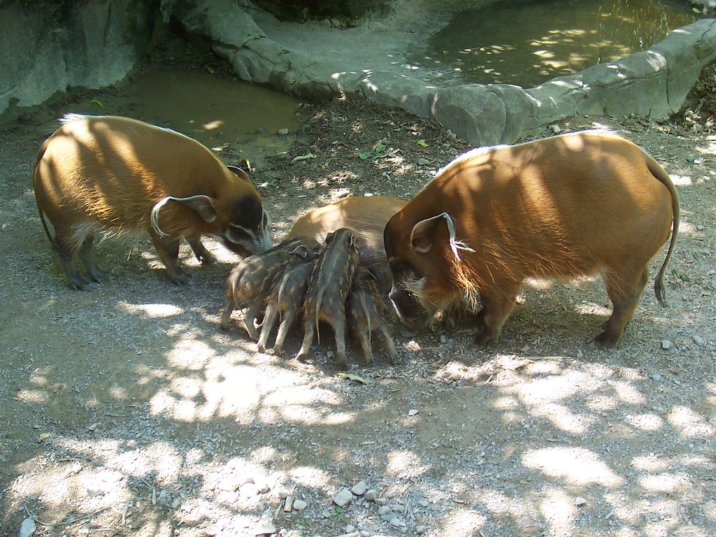 Baby Red River Hogs