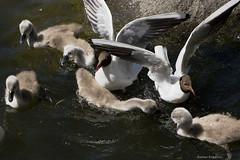 Gulls and swan cygnets (Edgar Pinelo) Tags: birds swan gulls cygnets