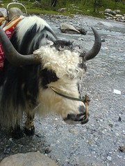 yak (Satanyork) Tags: china trip travel mountain snow amazing dragon plateau chinese oxygen jade yunnan lijiang attraction