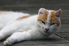 Cat reclining (Tom Tiger) Tags: holland netherlands dutch digital canon eos 300d canon300d digitalcamera piel