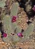 Echinocereus rayonensis (l.e.violett) Tags: cactus flowering cultivated echinocereus rayonensis
