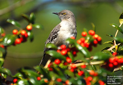 Northern Mockingbird (Mimus polyglottos) (Carolinensis) Tags: nature birds aves northernmockingbird mimuspolyglottos birdwatcher yardbird naturesfinest supershot nikkor80400mmvr allrightsreserved feederbirds fineartphotos birdphotos burfordholly mywinners nikond80 colorphotoaward southcarolinabirds ilexcornutaburfordii vosplusbellesphotos thewonderfulworldofbirds greatshotss