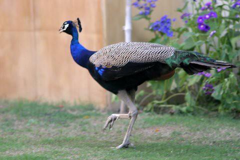 Peacock Strut 11