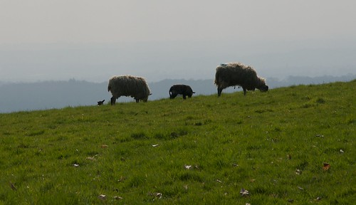 Kentish sheep