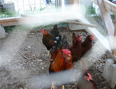 chickens-with-wire-01