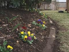 pansies planted