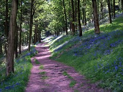 A Walk with the Bluebells (saxonfenken) Tags: trees bluebells bravo path nt derbyshire superhero thumbsup 611 naturesfinest bigmomma gamewinner supershot challengeyou challengeyouwinner abigfave outstandingshot colorphotoaward impressedbeauty isawyoufirst diamondclassphotographer flickrdiamond superhearts friendlychallenge herowinner pregamewinner fotocompetition|fotocompetitionbronze fotocopmpetitionbronze 611trees