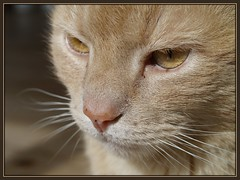Not happy about this...! (Kirsten M Lentoft) Tags: red face topc25 topv111 closeup cat nose eyes kitty whiskers tappy helluva bestofcats momse2600 pet100 kirstenmlentoft