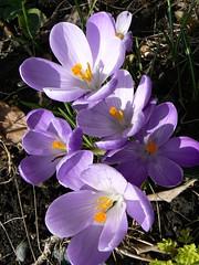Krokus (Granmeis/Elisen) Tags: flowers spring lilac krokus