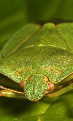 "Green Shieldbug (Palomena prasina) • <a style=""font-size:0.8em;"" href=""http://www.flickr.com/photos/57024565@N00/457662520/"" target=""_blank"">View on Flickr</a>"
