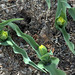 "Double Early Tulip """"Yellow Baby"""""
