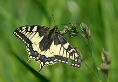Schwalbenschwanz / Swallowtail (Baubo Bittern) Tags: butterfly bodensee swallowtail schmetterling friedrichshafen badenwürttemberg lakeconstance schwalbenschwanz papiliomachaon hirschlatt ailingen haldenberg