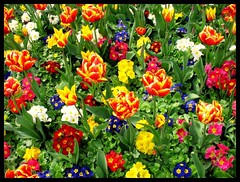 Them colourful things that grow in parks (andrewlee1967) Tags: uk flowers england colourful ashtonunderlyne andrewlee tameside littlebugger stamfordpark abigfave andrewlee1967 johnsaysthelittlebuggerscalledfred focusman5