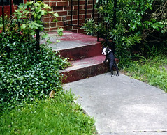 porch.jpg (blogjam_dot_org) Tags: dog baby film dogs bostonterrier texas houston slide 1999 kodachrome southampton albans greenbriar primelens iso64 fixedfocallength misterpeabody 77005