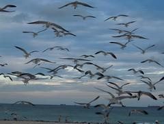 Seagull Attack! (Joe Shlabotnik) Tags: 2005 seagulls november2005 beach miami miamibeach myfave faved heylookatthis