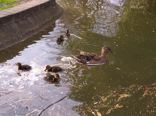 Duck and Ducklings in the Water