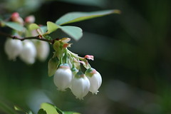 Blueberry Flowers in My Garden