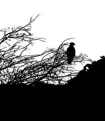 Static (Neville_S) Tags: blackandwhite bw white black bird nature beautiful silhouette contrast amazing fantastic alone eagle sigma canon350d highkey 70300mm neville canon305d nevillesukhiaphotography