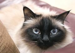 Missing Remmy? (~ Liberty Images) Tags: cute cat canon rebel furry kitten feline soft fuzzy sweet blueeyes kitty kittens whiskers cateyes beloved portrat birman catportrait kittyeyes remmy muchbeloved impressedbeauty