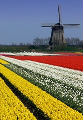 Tulips and Windmill in Holland (scott photos) Tags: flowers red white flower holland netherlands fleur windmill dutch yellow fleurs jaune landscape moulin rouge tulips blossom nederland panasonic tulip bloom rood wit paysbas blanc molen fz30 tulipe tulpen tulp tulipes hollande byscottphotos theworldseenfromthefz30