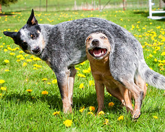 Dweeb and Goober 1527 (Parker the Red and Brody the Blue) (zingpix) Tags: usa dog dogs jeff washington all cattle  australian explore rights queensland jeffrey australiancattledog coolest soe reserved brody heeler acd blueheeler allrightsreserved anawesomeshot zingpix jeffjaquish jaquish jeffreyjaquish