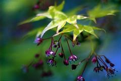 little flower (minolta X-700) (kero53hero) Tags: plant film minolta kodak 135mm extention x700 rokkor