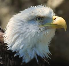 Still proud with one wing (ѕhadowdancer) Tags: bird nikon eagle baldeagle animalplanet injured americanbaldeagle d80 specanimal animalpals avianexcellence cannotfly