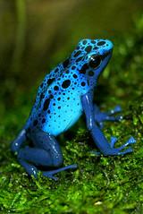 Blue Poison Dart Frog - nature blue watcher frog dart poison atlanta botanical 2007 atlantabotanicalgardens gardens bluepoisondartfrog