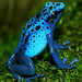 Blue Poison Dart Frog - by ucumari
