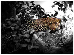 Leopard, North Serengeti, Tanzania (Stephen J Kennedy) Tags: africa tanzania leopard serengeti isawyoufirst