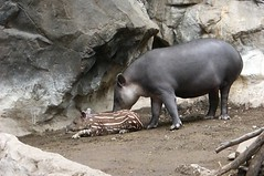 Baby Tapir named Seamus and its mama