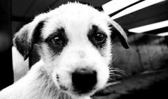 Sad portrait (Shuck) Tags: portrait bw blancoynegro puppy retrato tony bn perro cachorro doggy pup perrito shuck cachorrito ricardoshuck byshuck tonyshuck