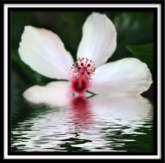 a cry for help (Got Picz?) Tags: white black flower reflection nature water ripple hibiscus illusions