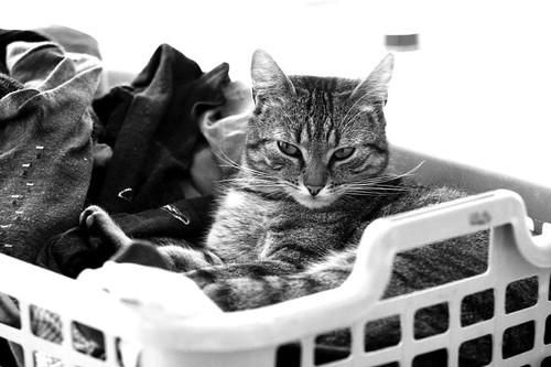 Laundry cat