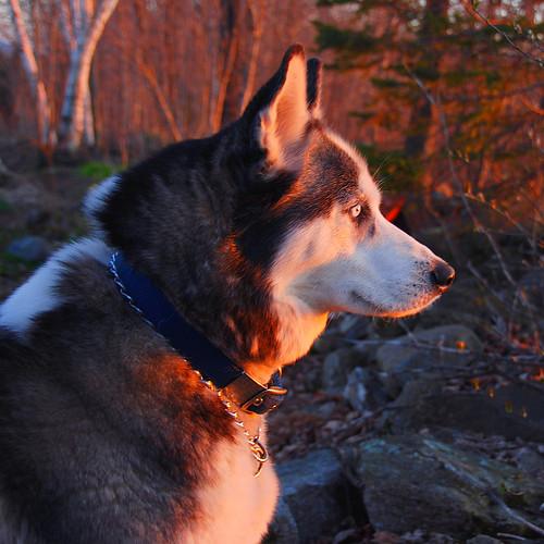 zowie watching sunset