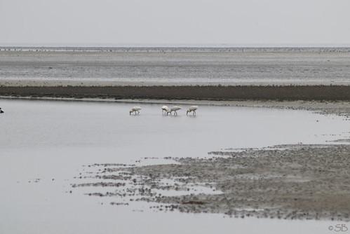 Löffler in Vlieland