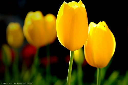 What Do Yellow Tulips Mean?