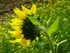 Girassol // Sunflower (Helianthus annuus) (Valter Jacinto | Portugal) Tags: flowers plants flores portugal nature plantas europe sunflower algarve plantae asteraceae yellowflowers coolpixs3 castromarim biodiversity naturephotography girassol helianthus helianthusannuus magnoliophyta magnoliopsida asterales nikoncoolpixs3 azinhal cultivatedplants taxonomy:class=magnoliopsida taxonomy:order=asterales taxonomy:family=asteraceae geo:country=portugal taxonomy:kingdom=plantae taxonomy:phylum=magnoliophyta taxonomy:genus=helianthus taxonomy:binomial=helianthusannuus taxonomy:common=sunflower cortedogago geo:region=europe