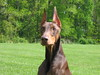 Attentive (DeVinney) Tags: dog dogs doberman argus