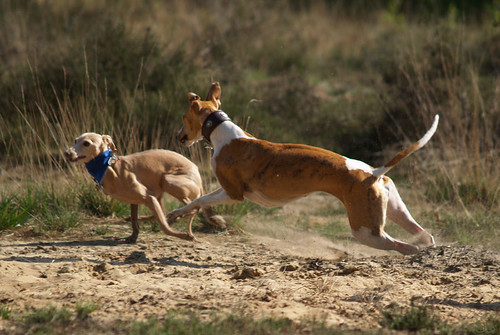 WY meets WiN: Whippet, Italien Greyhound: Nisha and Abby