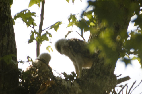 baby hawk 4