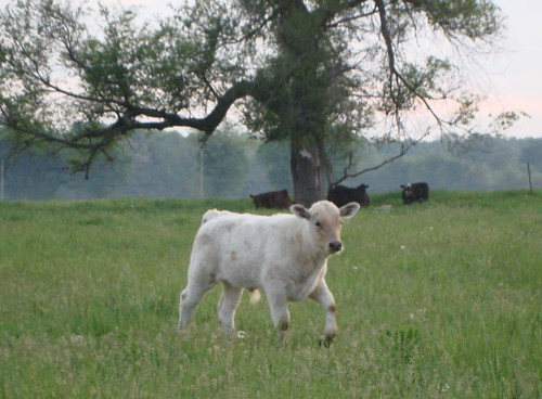 Calf on River Road