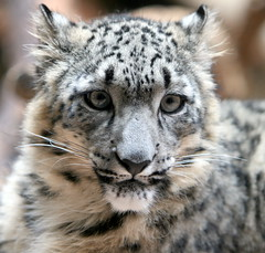 (lami64) Tags: wild cats nature animal zoo wildlife animalplanet specanimal flickrchallengegroup flickrchallengewinner