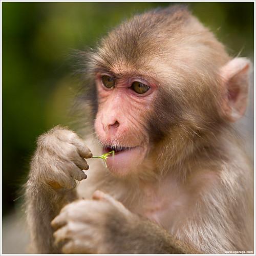 Macaque #3