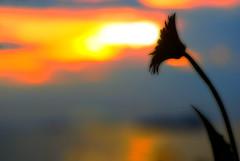 catching the sunset (DocTony Photography) Tags: flowers sunset sun plant flower nature silhouette bravo blossom philippines gerbera manila daisy bloom blooms pinoy interestingness2 magicdonkey abigfave artlibre anawesomeshot superaplus aplusphoto doctony outstandingdragongerbera