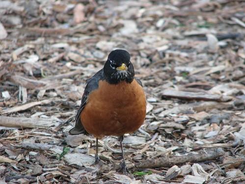 brownbrstbird