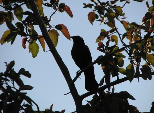 silhouettebird
